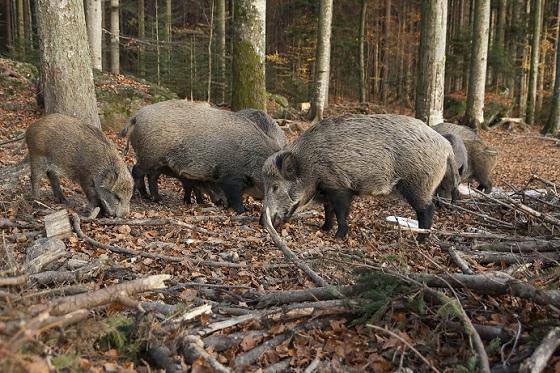 Unsere lieben Wildschweine