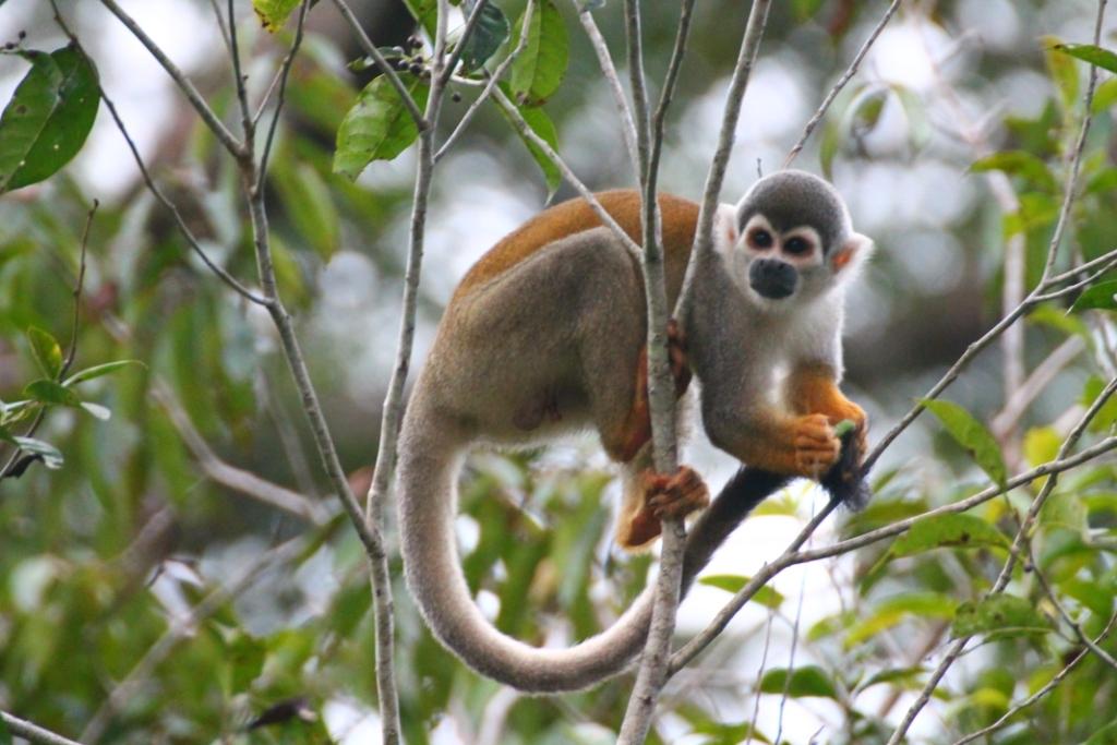 netzwerk natur, Biologische Vielfalt, Ecuador, Affe