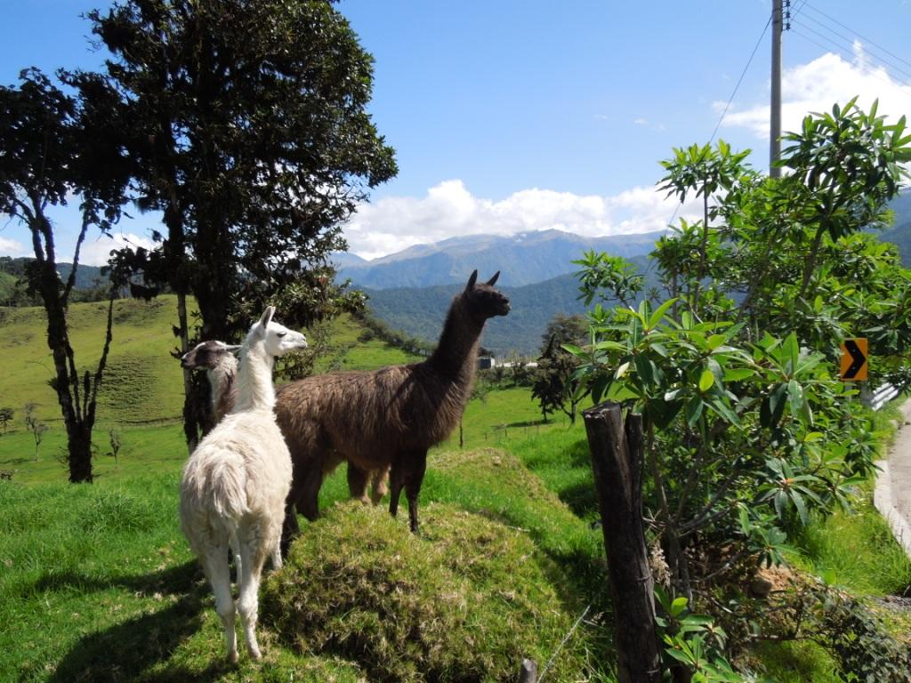 netzwerk natur, Biologische Vielfalt, Ecuador, Alpaka
