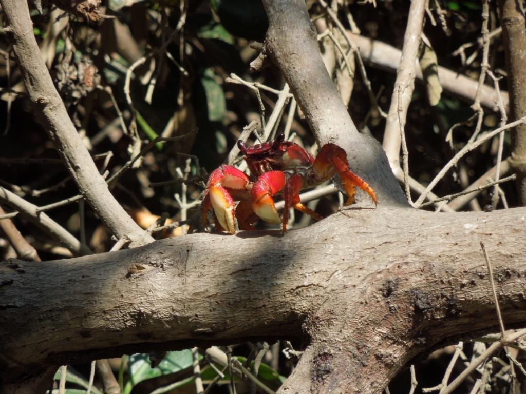 netzwerk natur, Biologische Vielfalt, Ecuador, Krebs in Mangroven